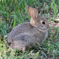 T-Bar snare hunting target, small rabbit